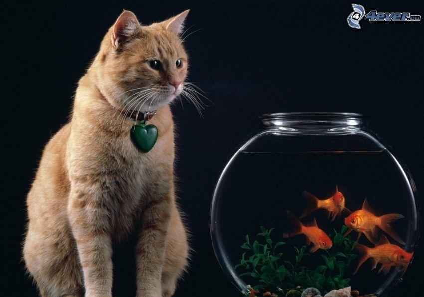 gato marrón, peces, acuario