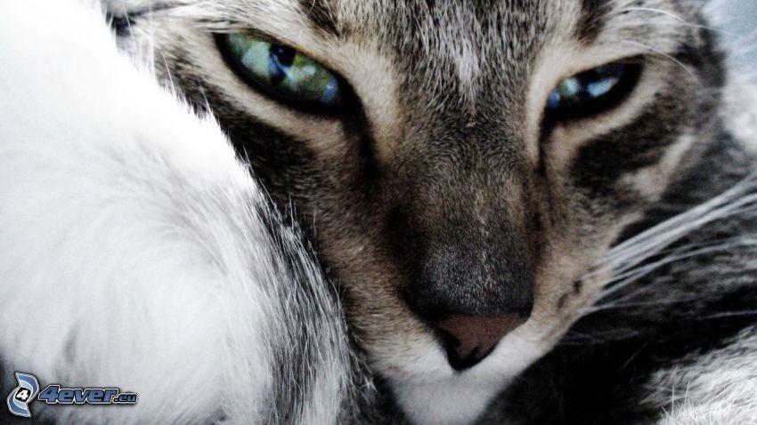 gato marrón, rostro felino