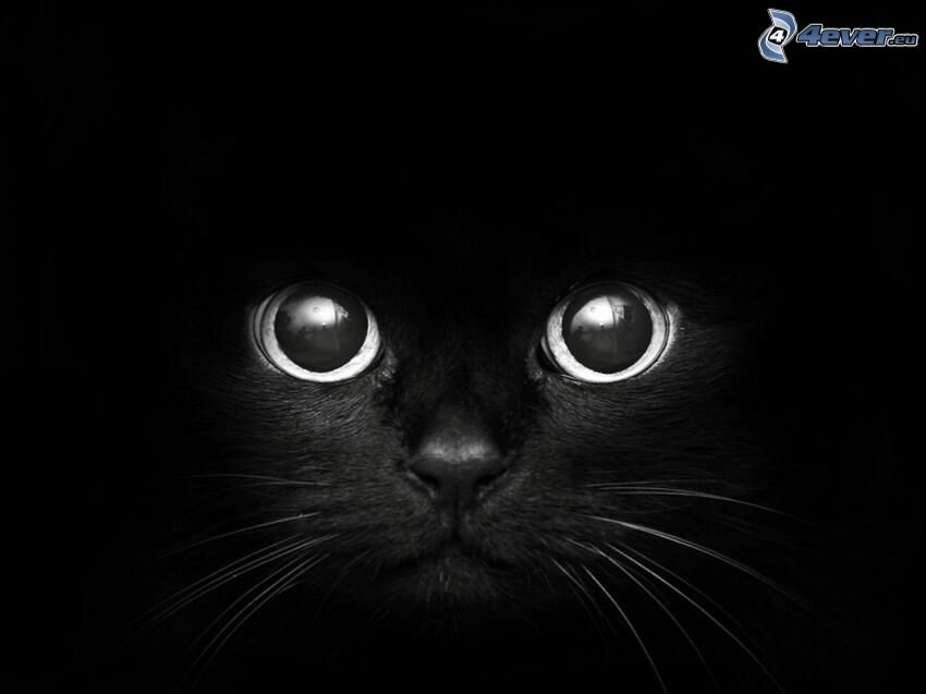 gato negro, rostro felino