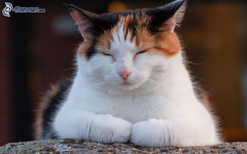 Gato que duerme, gato variopinto