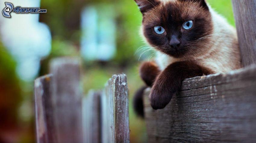 Gato siamés, cerco de madera