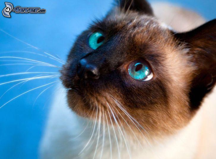 Gato siamés, mirada de gato