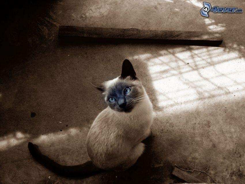 Gato siamés, ojos azules