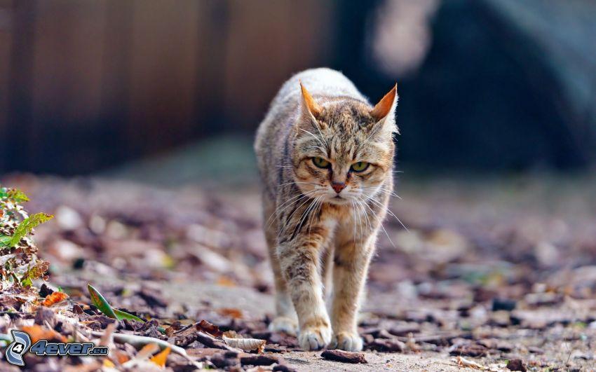gato variopinto, ir a pie, hojas secas