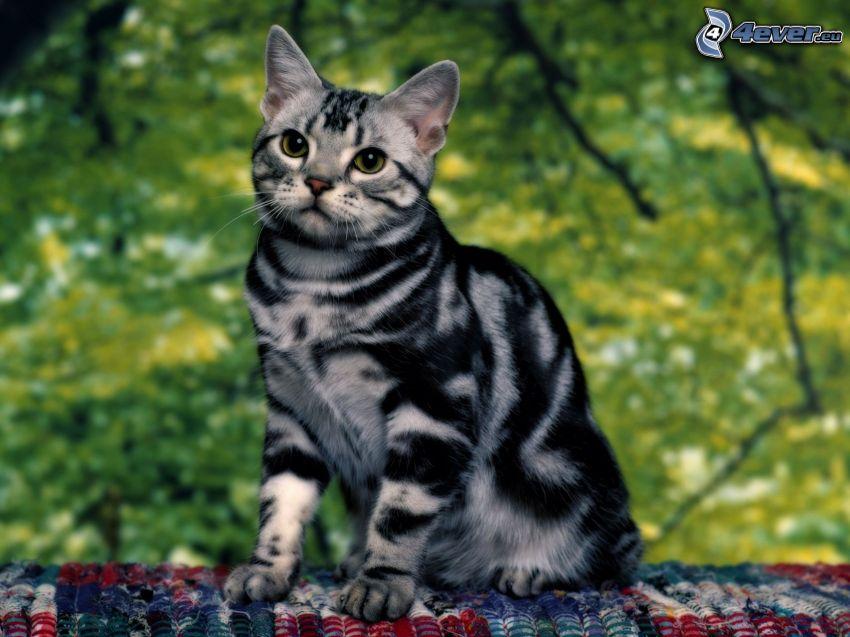 gato variopinto