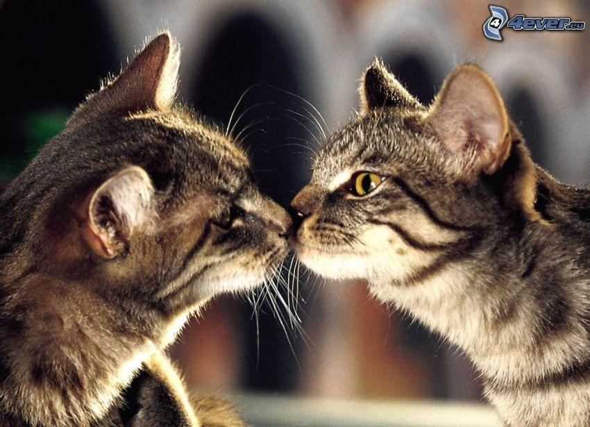 gatos, beso