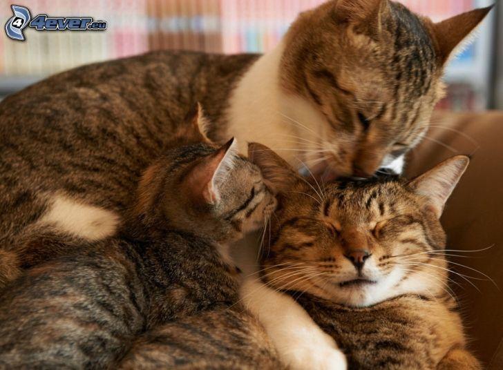 gatos, familia, gatito