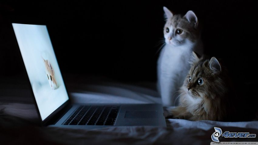 gatos, MacBook