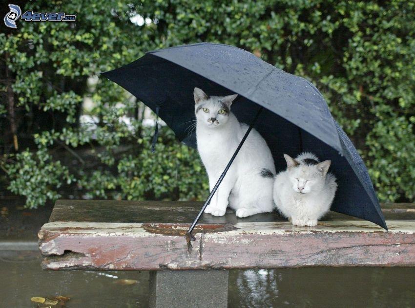 gatos, paraguas