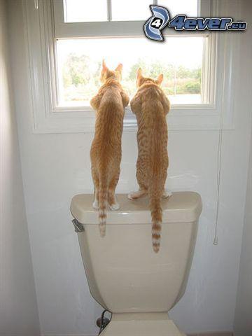 gatos, WC, gato de pelo pelirrojo