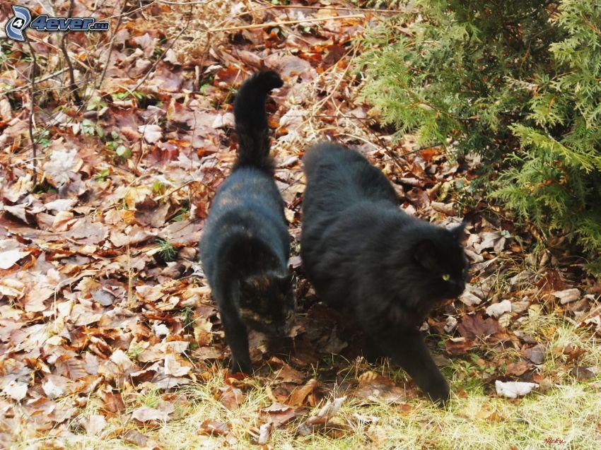 gatos negros, hojarasca, conífera