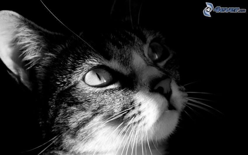mirada de gato, blanco y negro