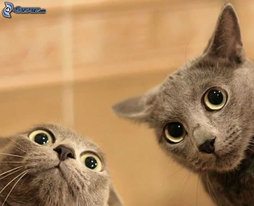 mirada de gato, Gato británico