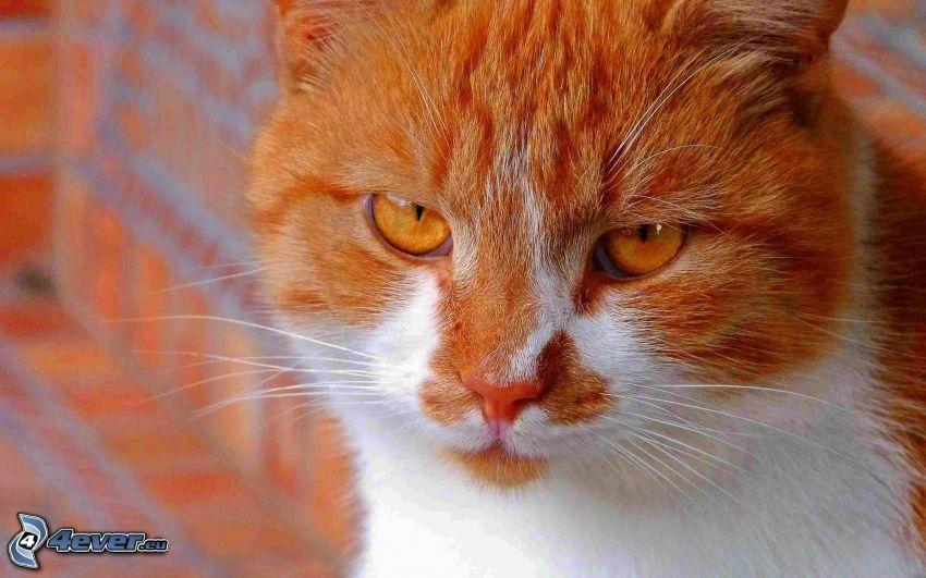 mirada de gato, gato de pelo pelirrojo