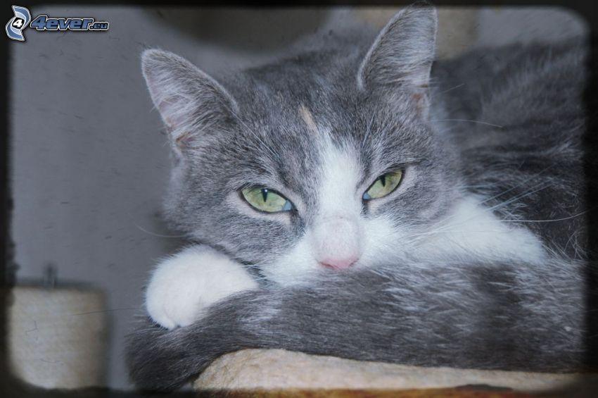 mirada de gato, gato gris