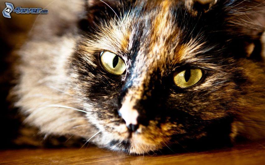 mirada de gato, rostro felino