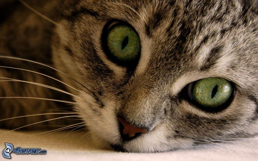 pequeño gatito gris, ojos verdes