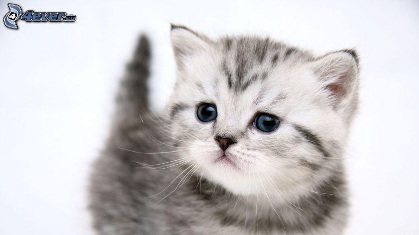pequeño gatito gris