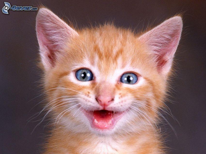 pequeño gato pelirrojo, ojos azules, sonrisa