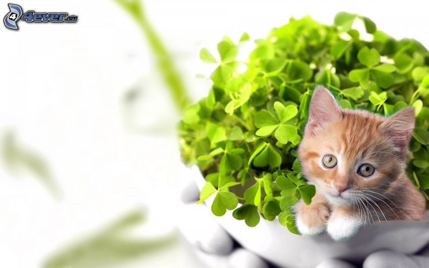pequeño gato pelirrojo, tréboles