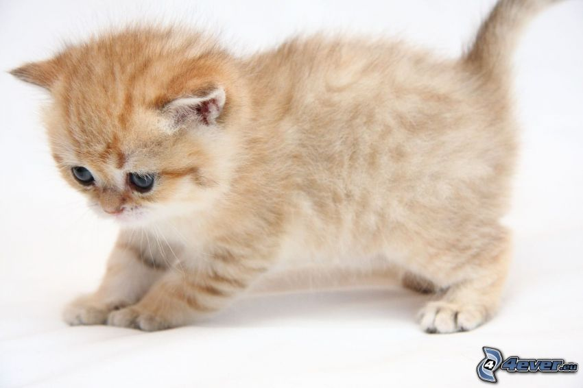 pequeño gato pelirrojo