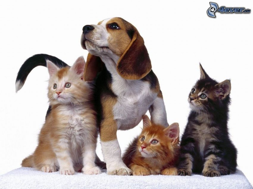 Perro y gato, beagle, mirada, amistad