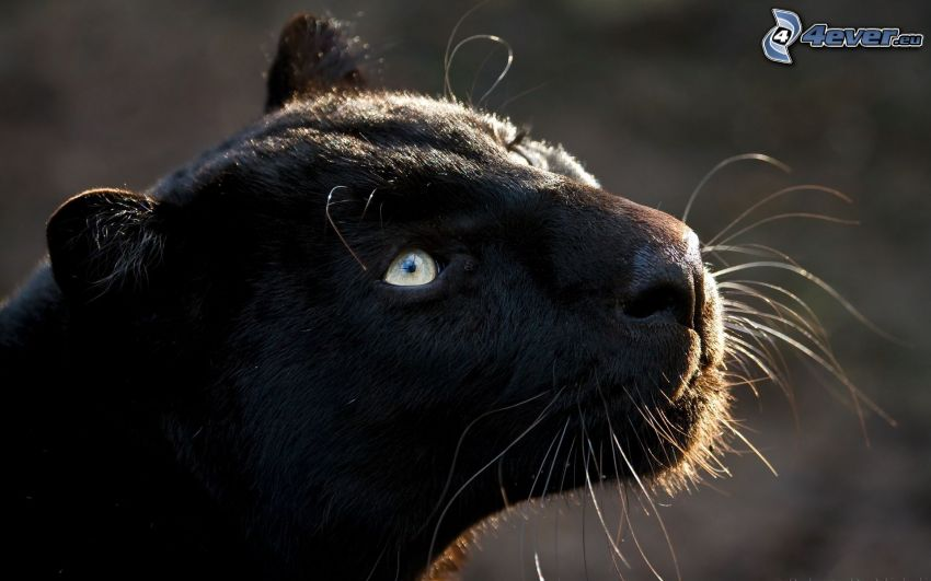 puma, jaguar, pantera, fiera
