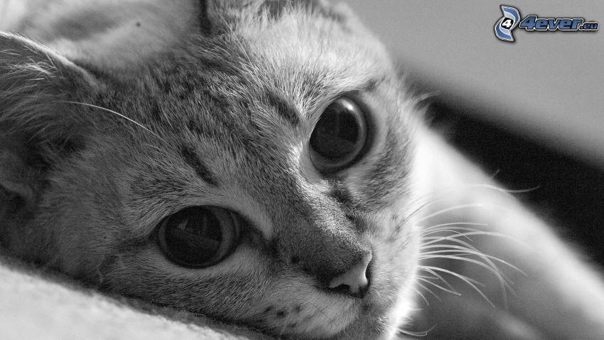 rostro felino, cabeza de felino