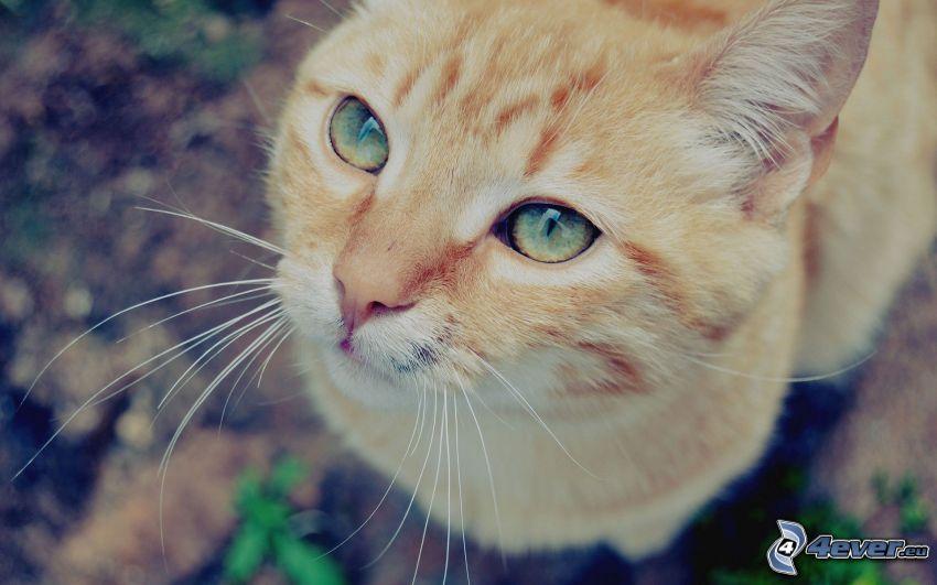 rostro felino, gato de pelo pelirrojo