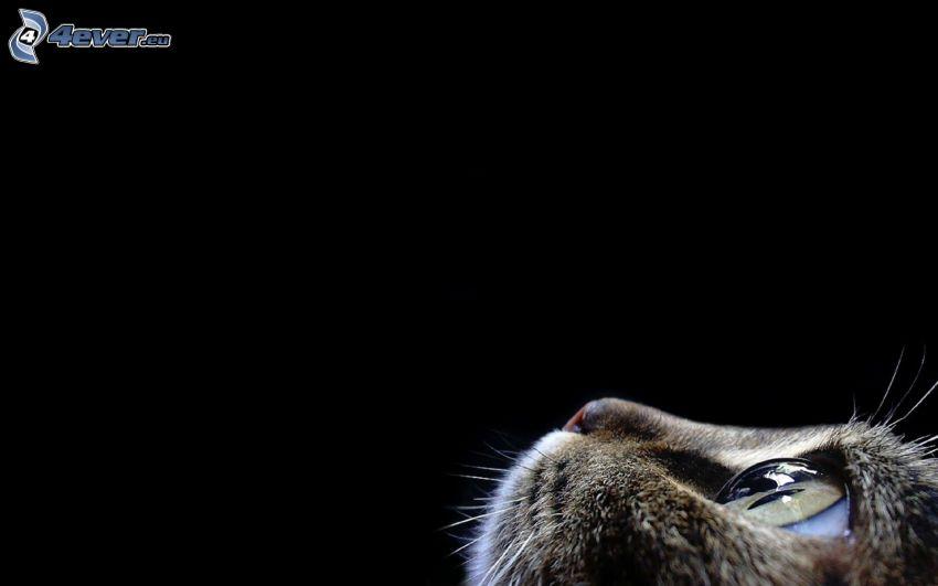 rostro felino, hocico, ojo