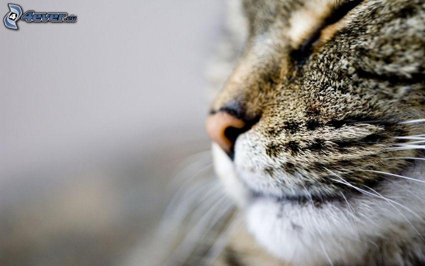 rostro felino, hocico