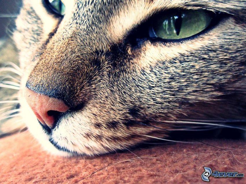 rostro felino, mirada