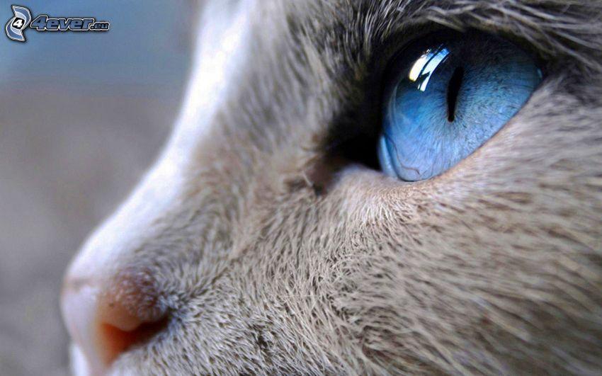 rostro felino, ojo azul, hocico, macro