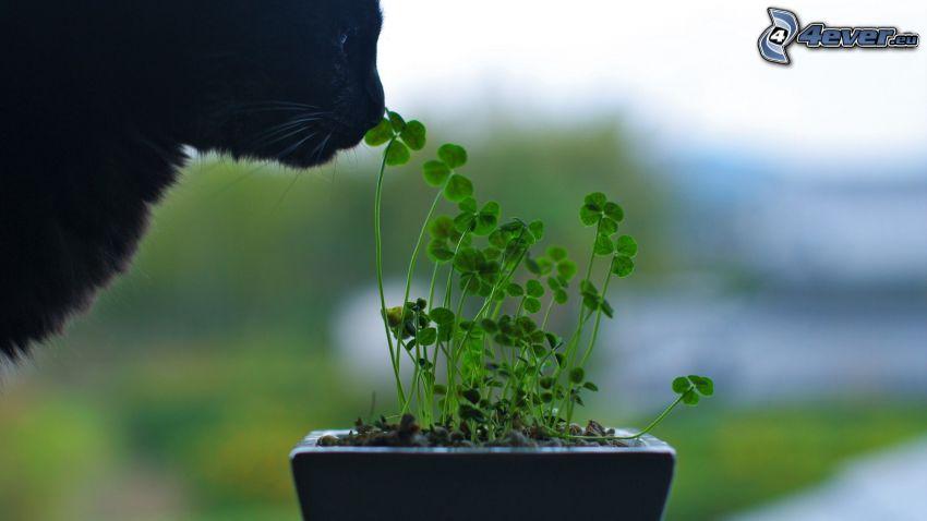 tréboles de cuatro hojas, gato negro
