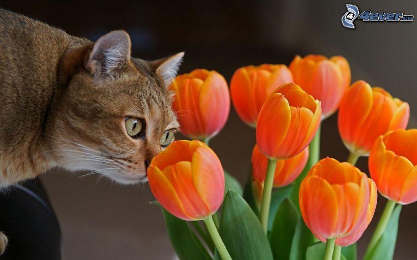 tulipanes de color naranja, gato marrón