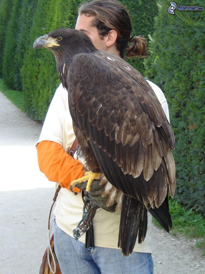 halcón, ave de rapiña, halconero, hombre, plumas