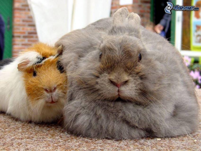 hámster, conejo