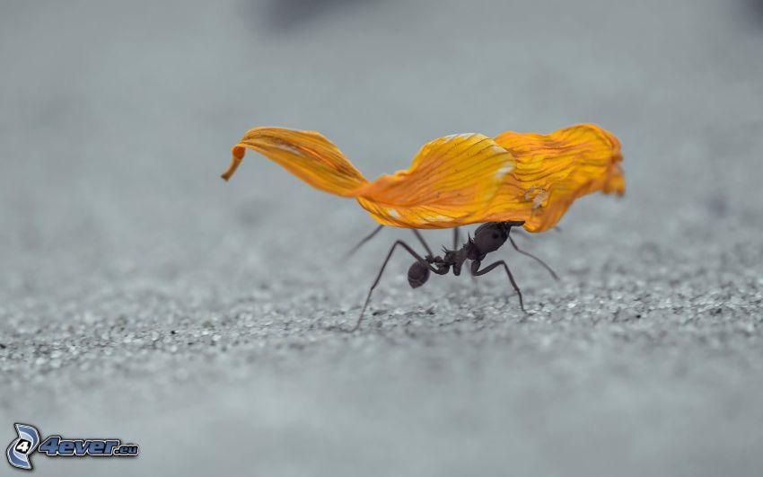 hormiga, hoja seca