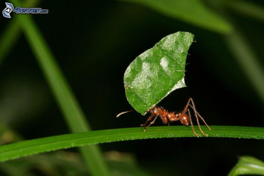 hormiga, hoja verde, paja de hierba