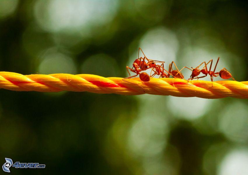 hormigas, cuerda