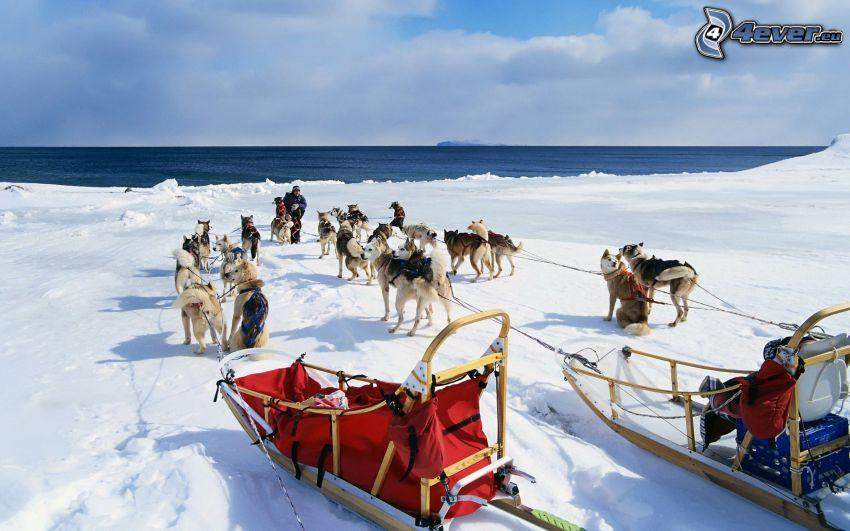 Husky de Siberia, trineo, nieve, mar
