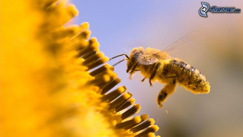 abeja, flor amarilla