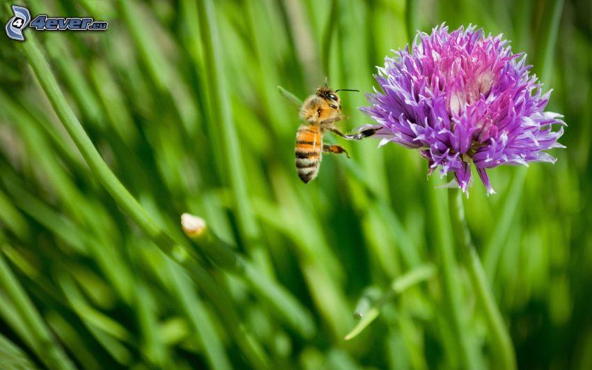 abeja, flor púrpura