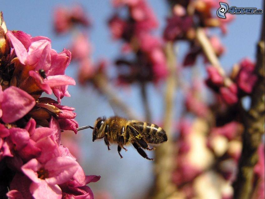 abeja, flores de color rosa, macro