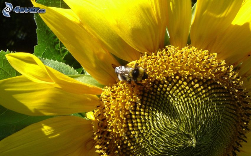 abeja, girasol