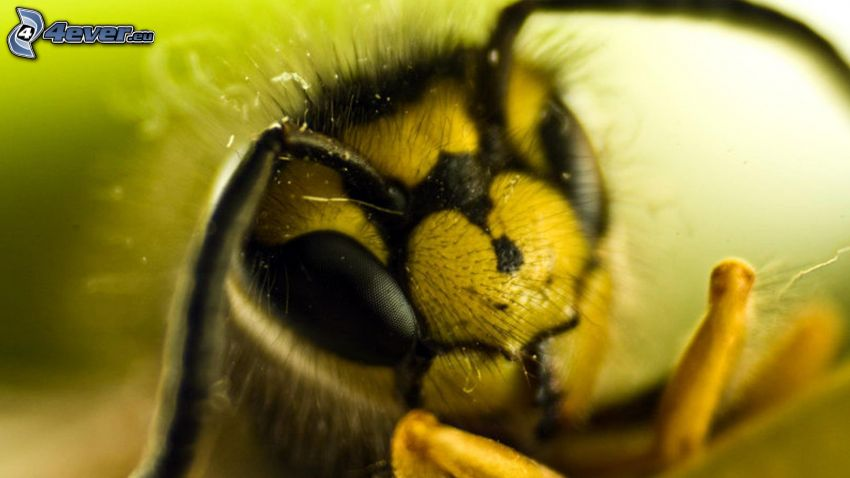 abeja, macro