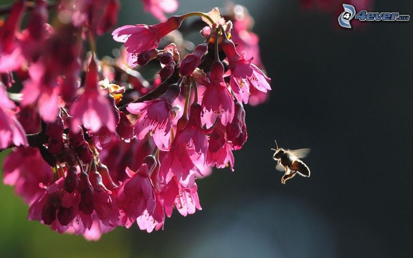 abeja, ramita en flor