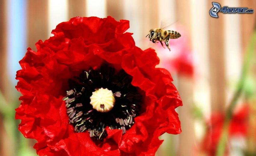 abeja, vuelo, amapola