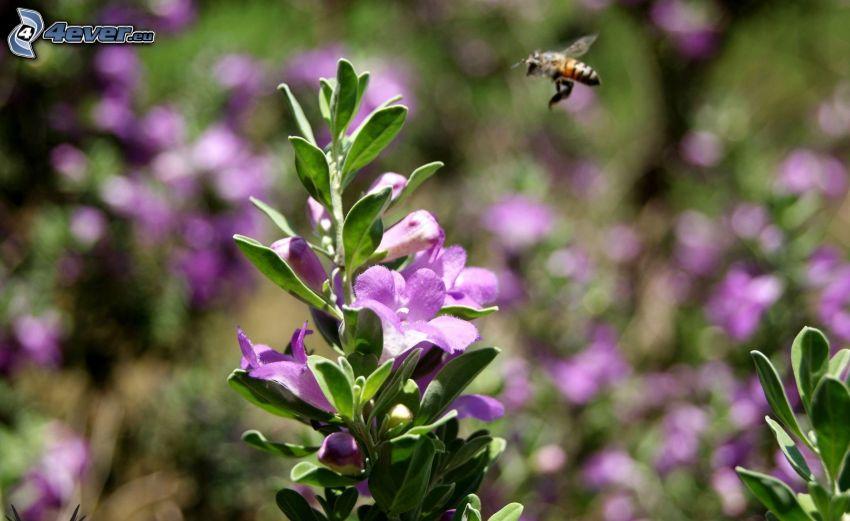 abeja, vuelo, flor púrpura