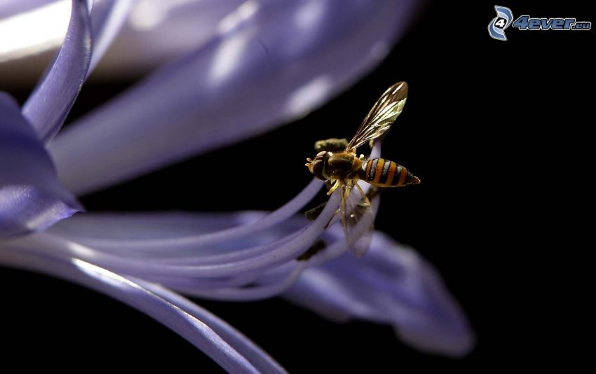 abeja en flor, flor púrpura